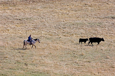 Cowboys bringing in cattle in Cypress Hills