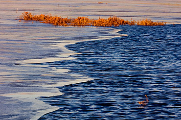 Fresh ice and open water with leatherleaf in beaver pond near sunset