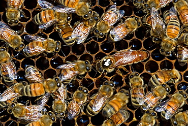 Western honeybee (Apis mellifera)- marked queen laying eggs among worker bees