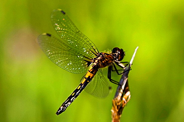 Dragonfly posed on twig