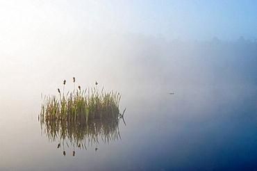 Aquatic vegetation in fog in beaver pond at sunrise