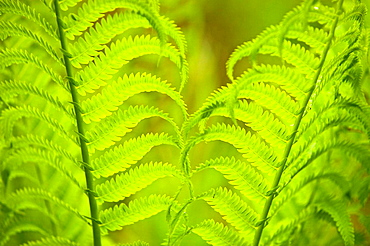Woodland fern fronds