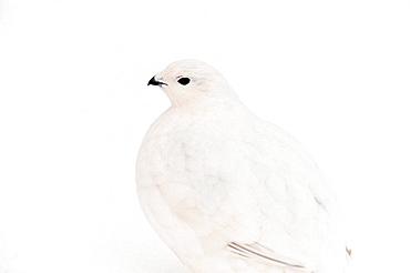 Willow Ptarmigan Lagopus lagopus Winter plumage