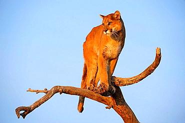 Mountain lion/Cougar/Puma Felis concolor- captive