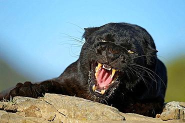 Melanistic black leopard Panthera pardus- captive