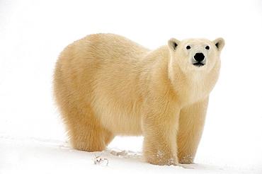 Polar bear Ursus maritimus walking along Hudson Bay coastline
