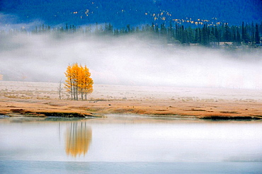 Morning fog with autumn aspens at Abraham Lake
