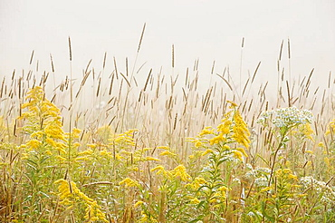 Timothy grass, goldenrod and aster in late summer meadow with light fog