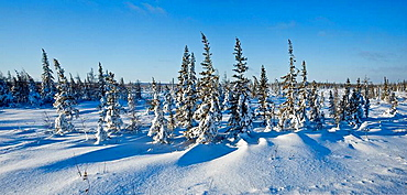 Boreal trees and fresh snow