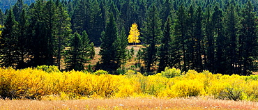 Aspen tree in coniferous forest at edge of willow wetland in autumn