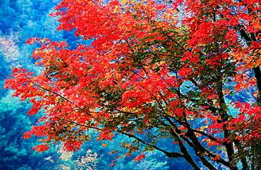 Japanese Maple tree (Acer palmatum) in autumn, Oregon, USA