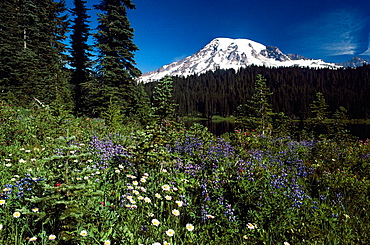 Mt, Rainier with wildflowers in spring, Paradise Park, Washington, USA