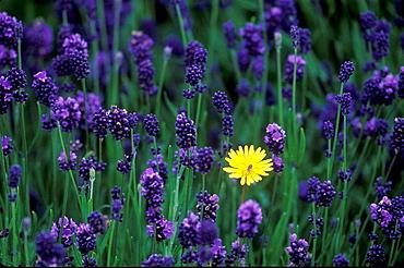English Lavender with Dandelion in private garden, Southern Oregon coast, USA