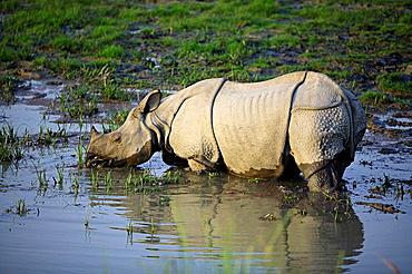 One Horned Indian Rhino, (Rhinoceros unicornis) at Kaziranga National Park, Assam, India