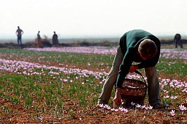 Harvesting Saffron, Consuegra, Toledo, Spain