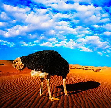 Ostrich in the desert