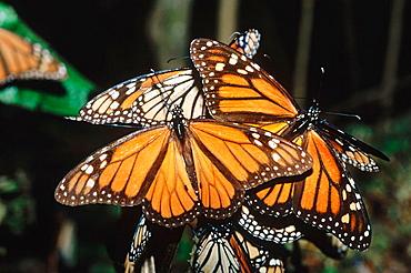 Monarch Butterflies (Danaus plexippus), Michoacan, Mexico