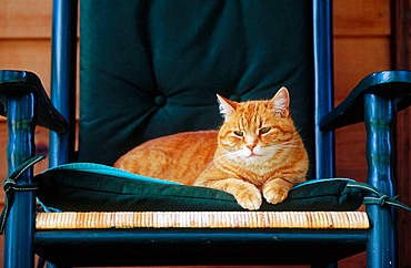 House cat sitting on a rocking chair