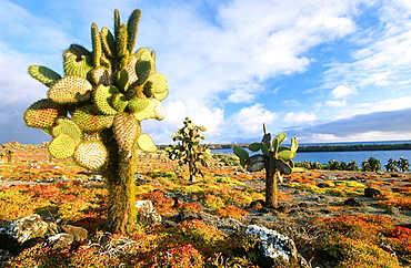Prickly pear cactus (Opunta echios), Plaza Sur, Galapagos Islands, Ecuador