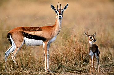 Thomson's Gazelle (Gazella thomsoni),female and young, Masai Mara Game Reserve, Kenya