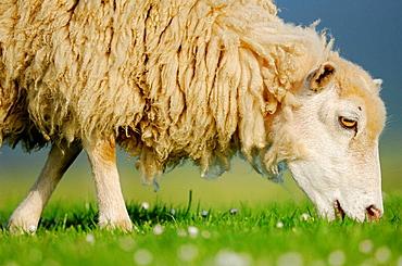 Domestic Sheep (Ovis aries), Mainland, Orkney Islands, Scotland