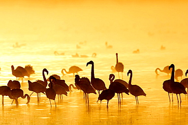 Lesser Flamingos (Phoenicopterus minor) at sunrise, Lake Nakuru, Kenya