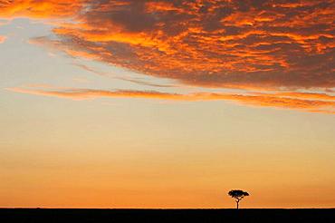 Balanites aegyptiaca at sunrise in the Massai Mara, Kenya