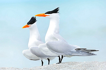Royal Terns (Sterna maxima), Displaying, Sanibel Island, Florida, USA
