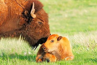American Bison/Buffalo (Bison bison), Young/Calf with Mother/Cow, Custer State Park, South Dakota, USA