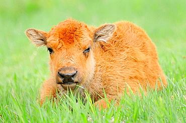 American Bison/Buffalo (Bison bison), Young/Calf, Custer State Park, South Dakota, USA