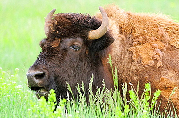 American Bison/Buffalo (Bison bison), Female/Cow, Custer State Park, South Dakota, USA