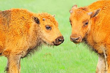 American Bison/Buffalo (Bison bison), Calves, Custer State Park, South Dakota, USA