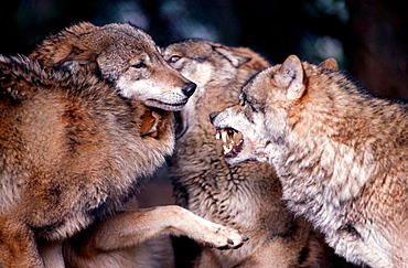Ceremony among wolves after waking-up to reassure one-another of the hierarchy among themselves