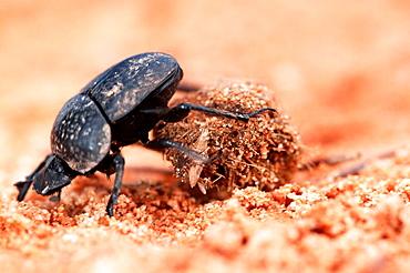 Dung Beetle (Scarabaeus semipunctatus)