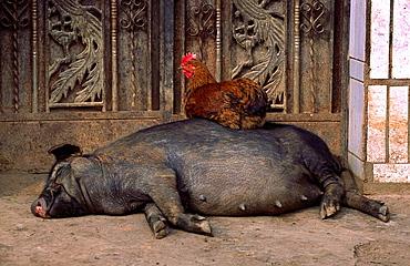 Rooster sitting on a sleeping pig, Xishuangbanna, Yunnan, China
