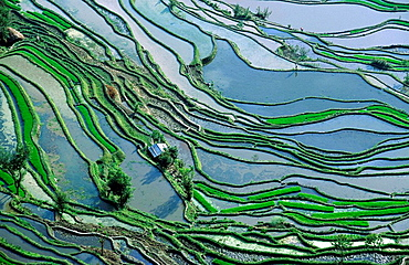 Rice terraces, Yuanyang, Yunnan, China