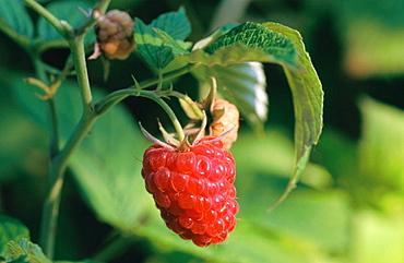 Raspberry ripening on shrub