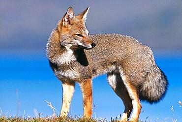 Gray Fox (Dusicyon griseus), Torres del Paine NP, Patagonia, Chile
