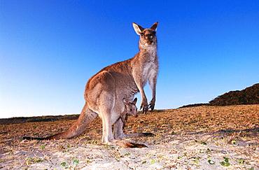 Grey Kangaroo (Macropus giganteus), Murramarang National Park, Australia