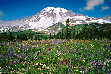 Summer wildflowers bloom in Paradise Valley, Mt, Rainier NP, Washington, USA