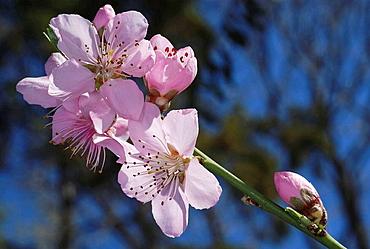 Peach tree (Prunus persica) flowers