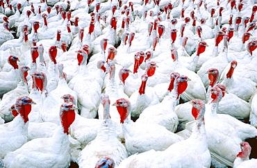 Turkeys in farm