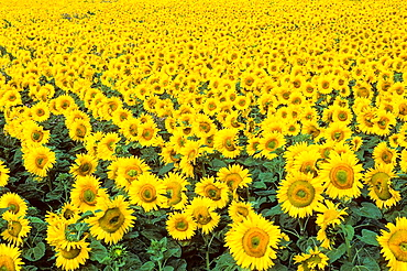 Sunflower (Helianthus annuus), Charente Maritime, Poitou-Charentes, France