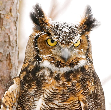 Long eared owl (Asio otus), dark phase, photographed in Northern Minnestota during snow fall
