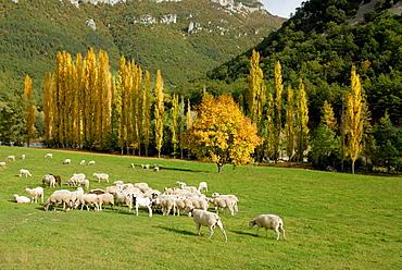 Flock, Pyrenees Mountains, Huesca province, Aragon, Spain