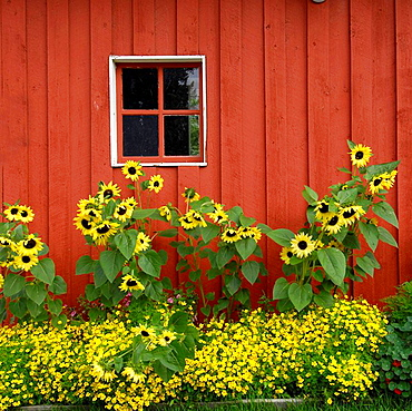 Red Barn with summer flowers sunflowers in Pioneer Park Fairbanks Alaska Alaska Highway ALCAN Al-Can U S United States