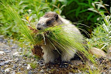 hoary marmot Marmota caligata near Salmon Glacier Stewart British Columbia BC Canada near Hyder Alaska AK US United States ground squirrel nature wildlife
