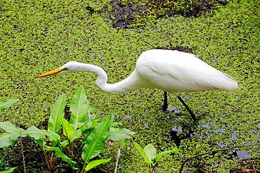 Corckscrew Swamp Sanctuary Naples Florida Great White Heron searchs out food
