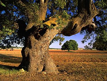 Holm Oak (Quercus ilex), Albacete province, Spain