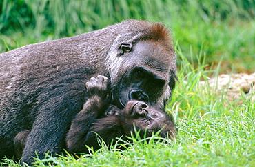 Female Western Lowland Gorilla (Gorilla gorilla gorilla) and young in captivity